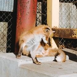 스압) 싱글벙글 본인 일본 여우마을 다녀온 후기
