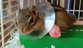 우리다람쥐 골절 사고 회복기 [스압]